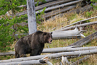 GRIZZLY BEAR.   Greater Yellowstone Area.  Fall.
