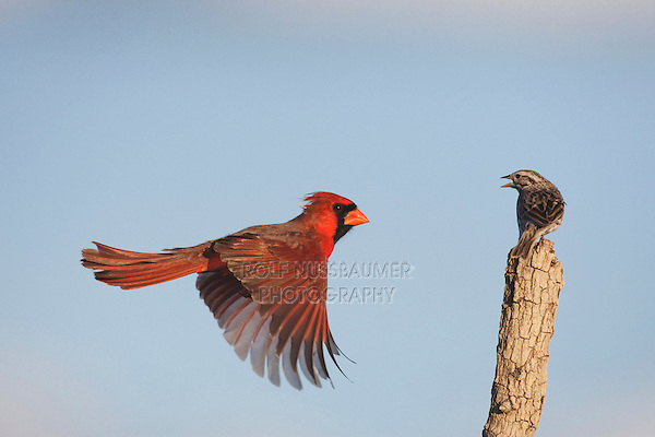 Northern Cardinal (Cardinalis cardinalis) and Savannah Sparrow (Passerculus sandwichensis), male landing, Sinton, Corpus Christi, Coastal Bend, Texas, USA