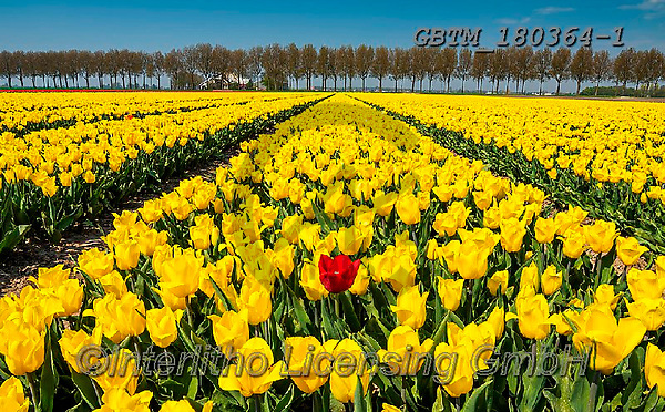Tom Mackie, LANDSCAPES, LANDSCHAFTEN, PAISAJES, photos,+Dutch, Europa, Europe, European, Holland, Netherlands, Tom Mackie, agricultural, agriculture, bloom, blooming, blossom, bloss+oms, botanic, botanical, color, colorful, colour, colourful, crop, crops, cultivate, cultivation, farming, farmland, field, f+ields, flower, flowers, horizontal, horizontals, landscape, landscapes, red, season, spring, tourist attraction, tree, trees,+tulip, tulips, yellow,Dutch, Europa, Europe, European, Holland, Netherlands, Tom Mackie, agricultural, agriculture, bloom, b+,GBTM180364-1,#l#, EVERYDAY