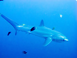 A thresher shark glides past at Monad Shoal, allowing reef fish to come close for a good cleaning.  (At Monad Shoal near Malapascua Island, Central Visayas, the Philippines.)