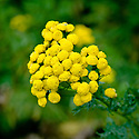 Common tansy (Tanacetum vulgare), early August.