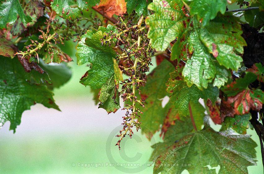 Stems left on the vine after mechanical harvest. Chateau des Vigiers, Monestier, Bergerac, France