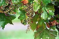 Stems left on the vine after mechanical harvest. Chateau des Vigiers, Monestier, Bergerac, France
