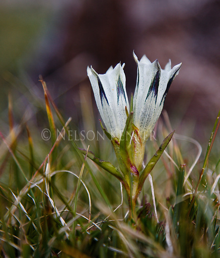 alpine gentian flowers blooming above 10,000 feet in the absaroka beartooth wilderness in montana
