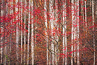 Autumn maples and poplar forest, Rocky Fork
