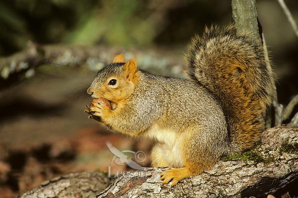 Fox Squirrel (Sciurus niger) chewing on oak gall.  Late fall.