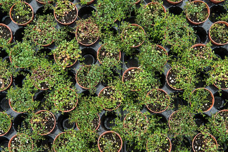 Thyme-leaved sandwort, Arenaria serpyllifolia, being grown for restoration at Wakehurst Place - Royal Botanic Gardens, Kew. Ardingly, West Sussex, UK.