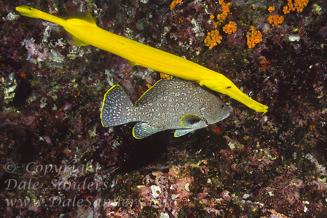 A Yellow Trumpetfish tries disguising itself as an appendage of a grouper, underwater off Cocos Island, Costa Rica.