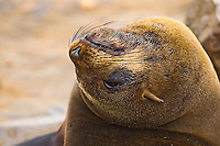 Portrait of an adult female Cape Fur Seal with her head thrown backwards