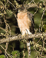 Cooper's Hawk, roadise in Montana