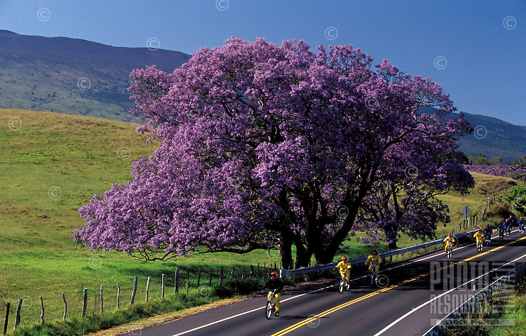 On their way down from Haleakala Crater,Maui downhill bikers are dwarfed by the blooms of a Jacaranda tree.
