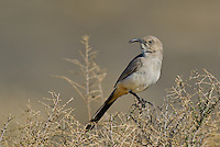 581970016 a wild lecontes thrasher toxostoma lecontei perches on a desert plant in kern county california united states