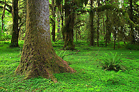 Temperate old growth rain forest, Hoh Rain Forest, Olympic National Park, Olympic Peninsula, Jefferson County, Washington, USA