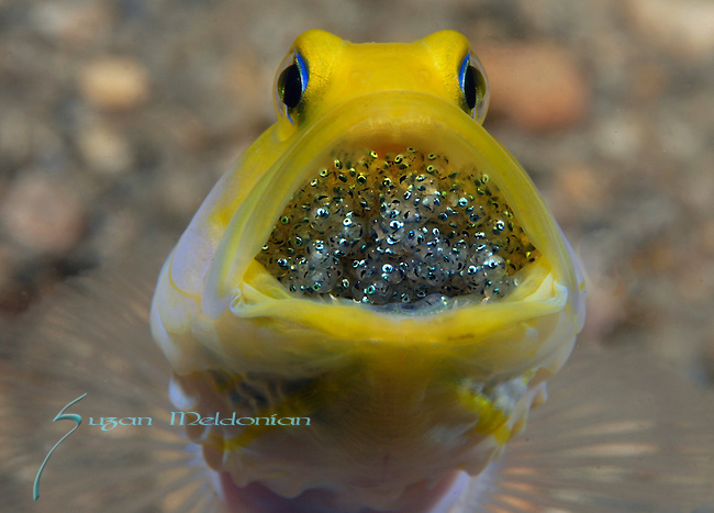 Yellow headed Jawfish Male with Eggs