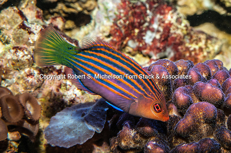 six-line wrasse facing right head slightly down