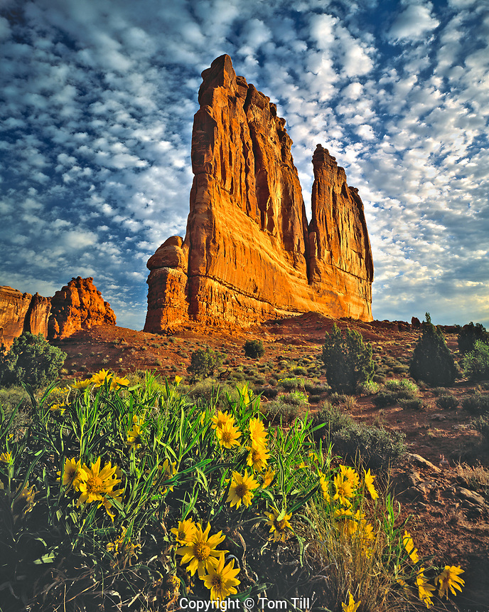 Mule Ear Flowers & Courthouse Towers, Arches National Park, Utah    Wyethia sp.
