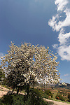 The Golan Heights, Syrian Pear (Pyrus Syriaca) in Nabi Hazuri