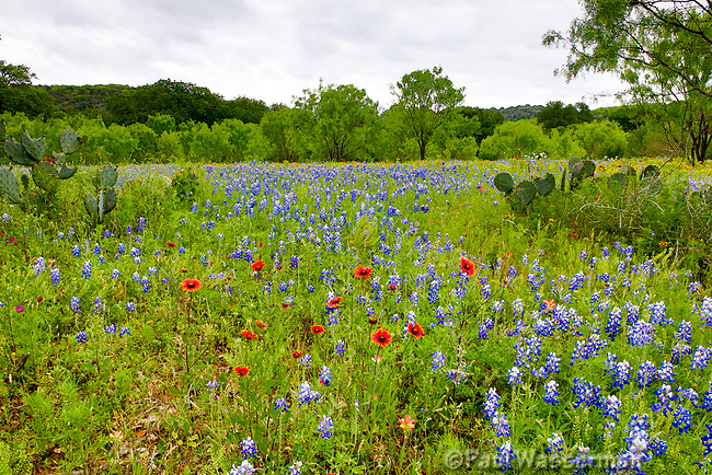 A Field of Bluebonnets, Indian Blanket, and Indian Paintbrush Wildflowers in Texas