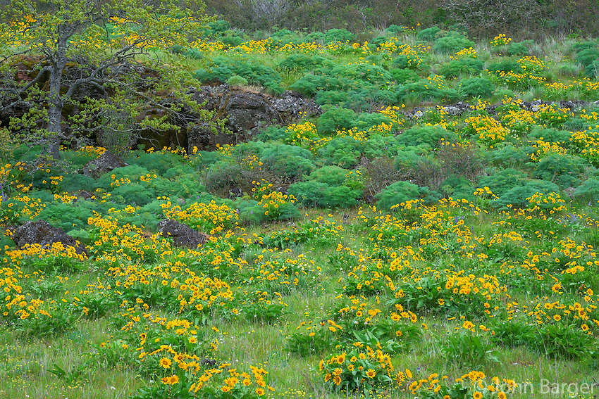ORCG_D171 - USA, Oregon, Columbia River Gorge National Scenic Area, Tom McCall Preserve, Spring bloom of Northwest balsamroot.