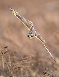 Canada, British Columbia, Fraser River Delta, , short-eared owl (Asio flammeus)