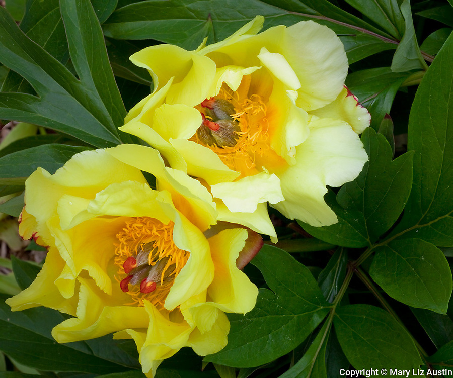 Vashon Island, WA  Detail of two blossoms of an Itoh hybrid peony 'Sequestered Sunshine'