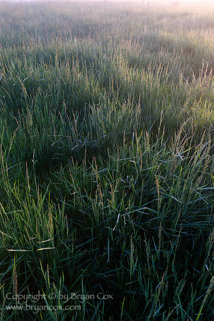 Grass in the morning mist, Willamette valley, Oregon