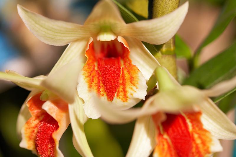 Orchid. Den. Green Lantern (Dawn Maree x cruentum)