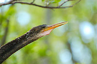Headshot of the anhinga, also known as the snakebird. The anhinga is a common and very effective fish-hunter found along the coasts and interior of Florida. This male is was spotted perched in a cocoplum in the Big Cypress National Preserve in Southwest Florida.