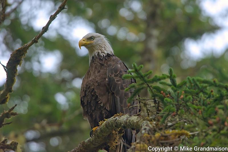 Bald eagle  (Haliaeetus leucocephalus) in tree. Graham Island. , Haida Gwaii (formerly the Queen Charlotte Islands), British Columbia, Canada