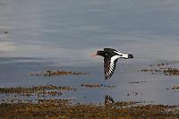 Austernfischer, im Flug, Flugbild, fliegend, Haematopus ostralegus, oystercatcher