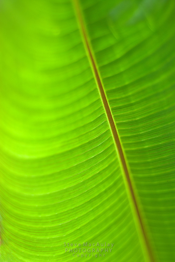 Macro close-up of banana leaf, Cerro Punta, Panama
