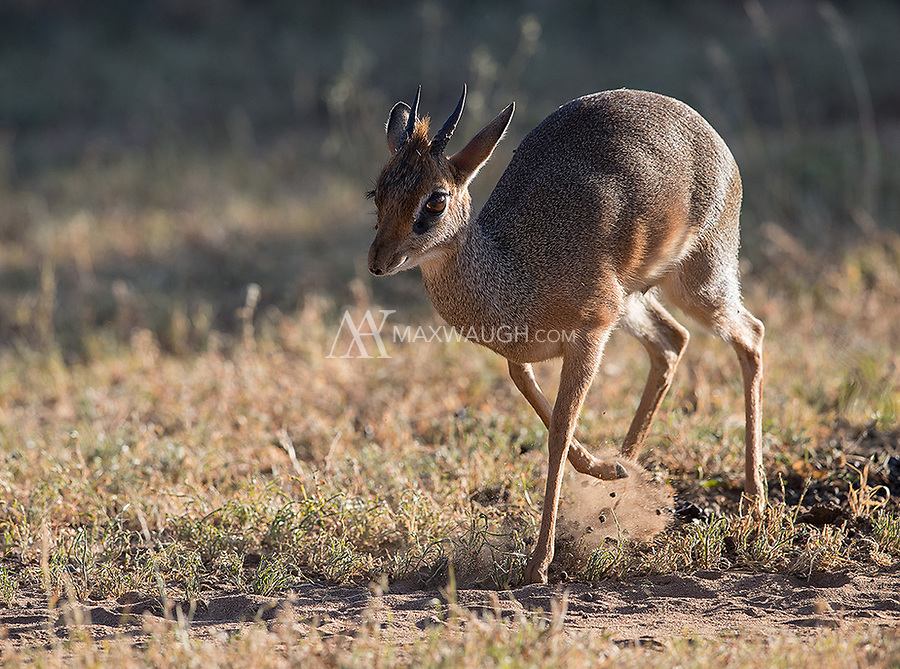 An interesting behavioral shot, as this male dik dik is busy spreading its poo across a midden as a territorial marker.