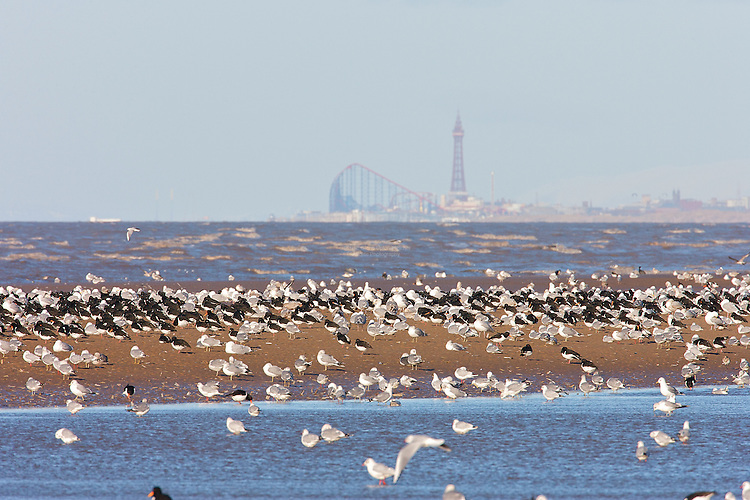 Herring Gulls and Oystercatchers (Haematopus ostralegus) take advantage of the bounty available on a super Spring tide in Winter, against the backdrop of the Blackpool Tower and the Pleasure Beach as viewed from Formby, along the Sefton Coast.