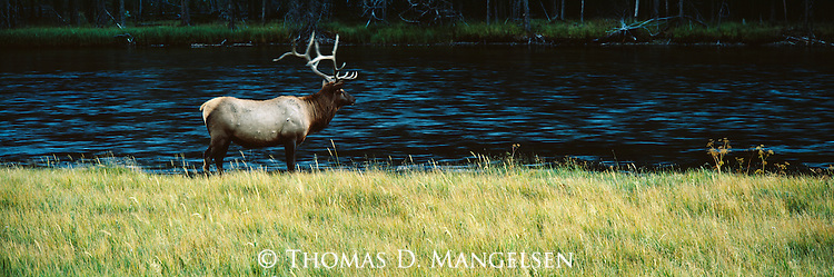 A bull elk stands beside a river in Yellowstone National Park, Wyoming.