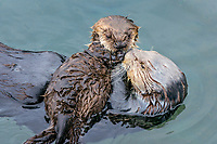 Sea Otter (Enhydra lutris) mom with young pup resting on her chest.  Prince William Sound, Alaska.  Spring.