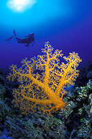 Alcyonarian coral dominates this reef scene with a diver (MR).   The Coral Sea, Australia.