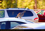 Grouse on a Cold Car Roof, Blue Grouse, Sage Grouse, Centrocercus urophasianus, Rainbow Point, Bryce Canyon National Park, Utah