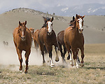 After completing the 2010 annual horse roundup in Three Forks, Montana, a galloping herd of horses face the camera while heading to the corrals at the ranch.