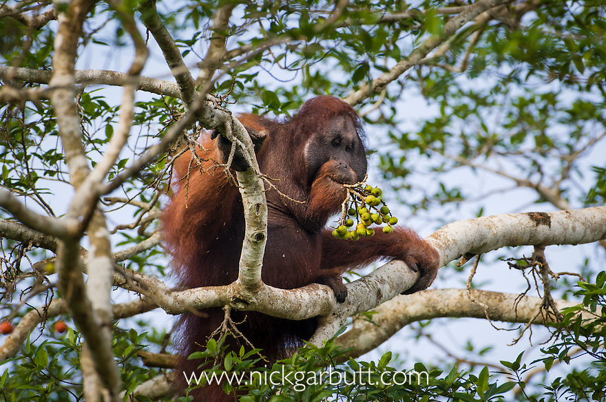Mature male Bornean Orang-utan (Pongo pygmaeus) feeding on wild figs in forest canopy. Along the banks of the Kinabatangan River, Sabah, Borneo.