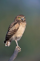 Burrowing Owl - Athene cunicularia - Juvenile