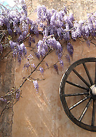 Wisteria vine on old wall with cartwheel.