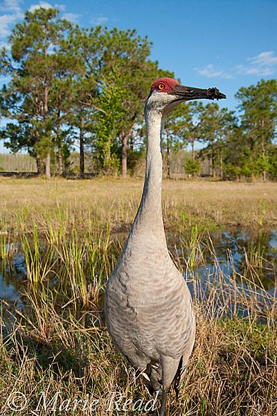 Sandhill Crane (Grus canadensis), Florida race, in wetland habitat near Kissimmee,  Florida, USA