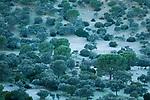 Holm Oak (Quercus ilex) and Stone Pine (Pinus pinea) trees in mediterranean forest during frost, Sierra de Andujar Natural Park, Sierra de Andujar, Sierra Morena, Andalusia, Spain