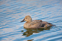 Female king eider swims in a tundra pond in Alaska's Arctic.