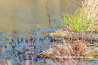 00685-00612 American Bittern (Botaurus lentiginosus) eating tadpole in wetland Marion Co. IL
