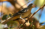 Northern Mockingbird, Sepulveda Wildlife Refuge, Southern California