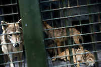 Wolves stand and lay in cages in the Qingdao Zoo in Qingdao, Shandong, China.