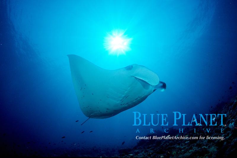 reef manta ray, Manta alfredi, Maldives Island, Indian Ocean, Ari Atol (atoll)