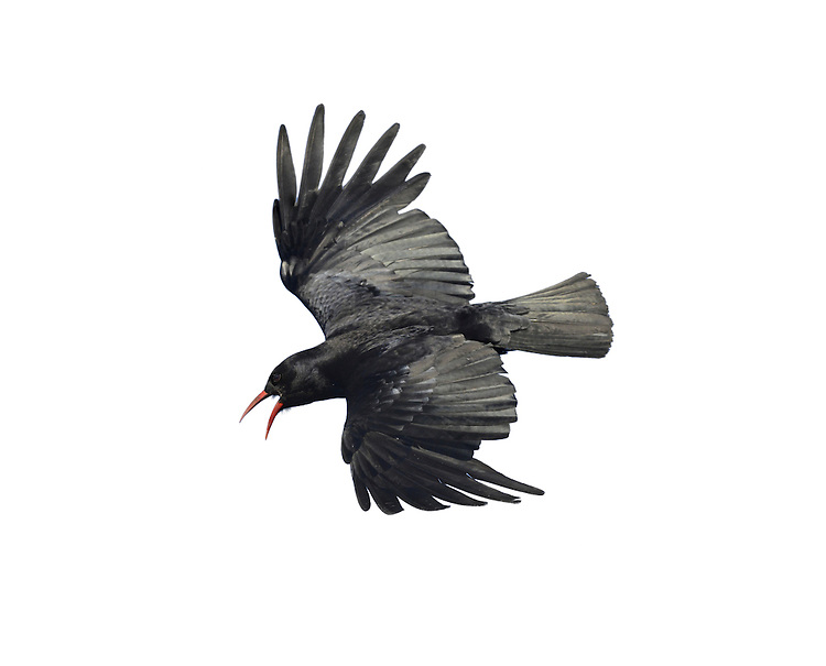 Chough Pyrrhocorax pyrrhocorax L 38-40cm. Jackdaw-sized corvid with downcurved, red bill, used to probe ground for invertebrates. Forms sociable, noisy flocks outside breeding season. Superb aeronaut with broad, 'fingered' wingtips. Sexes are similar. Adult has glossy, black plumage and reddish pink legs. Juvenile has duller legs and dull yellow bill. Voice Call is distinctive chyah, uttered while wings are flexed and flicked. Status Scarce resident, mainly of coastal seacliffs. S and W Ireland, W Wales, Isle of Man, and Islay are strongholds. Has recently recolonised Lizard in Cornwall.