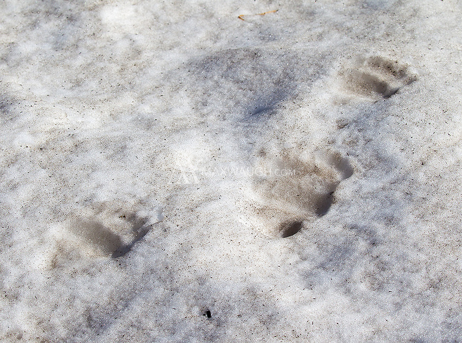 Fresh grizzly tracks in thawing spring snow.